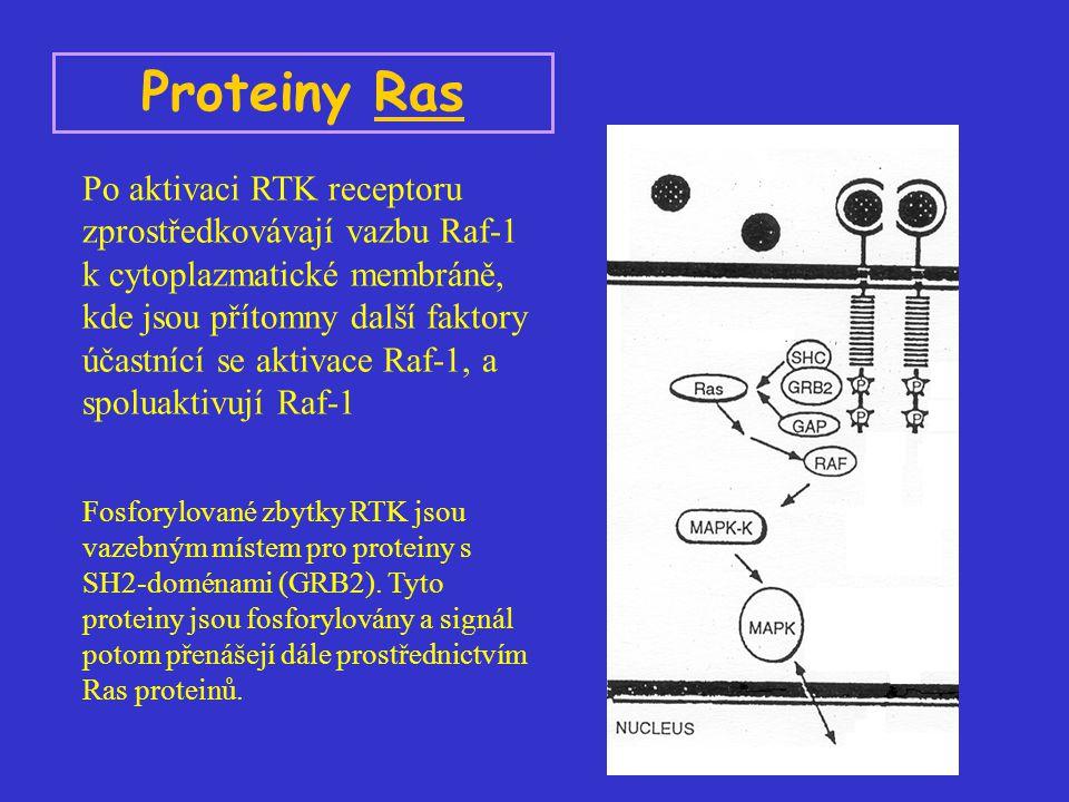 Proteiny Ras Po aktivaci RTK receptoru zprostředkovávají vazbu Raf-1 k cytoplazmatické membráně, kde jsou přítomny další faktory účastnící se aktivace Raf-1, a spoluaktivují Raf-1 Fosforylované zbytky RTK jsou vazebným místem pro proteiny s SH2-doménami (GRB2).