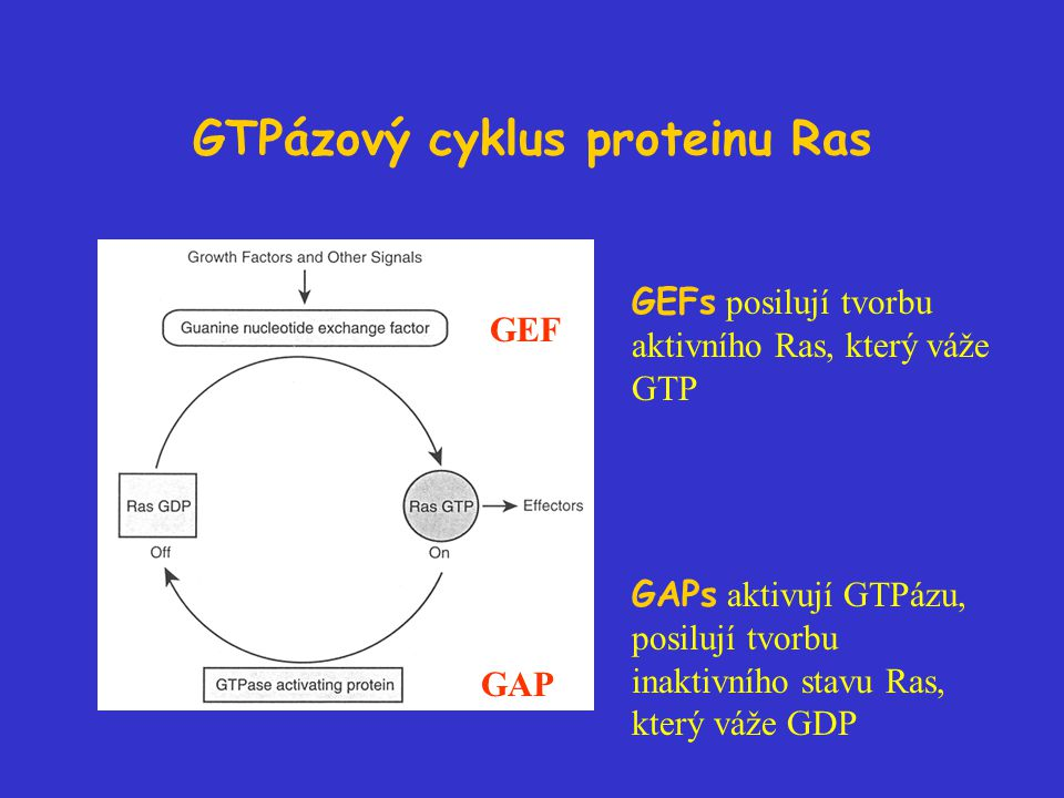 GTPázový cyklus proteinu Ras GEF GAP GEFs posilují tvorbu aktivního Ras, který váže GTP GAPs aktivují GTPázu, posilují tvorbu inaktivního stavu Ras, který váže GDP