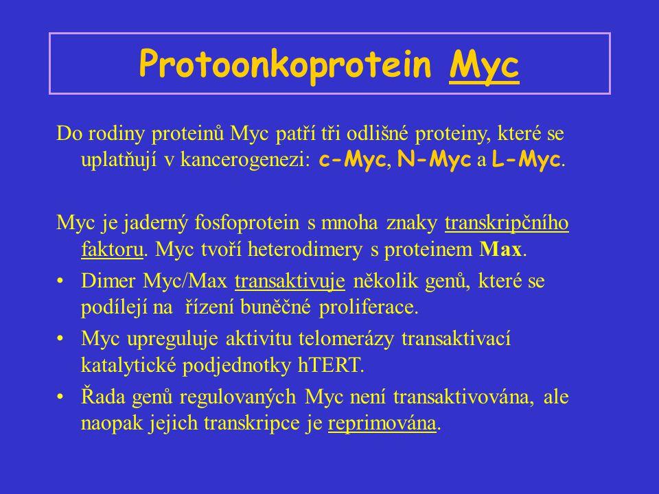 Protoonkoprotein Myc Do rodiny proteinů Myc patří tři odlišné proteiny, které se uplatňují v kancerogenezi: c-Myc, N-Myc a L-Myc. Myc je jaderný fosfo