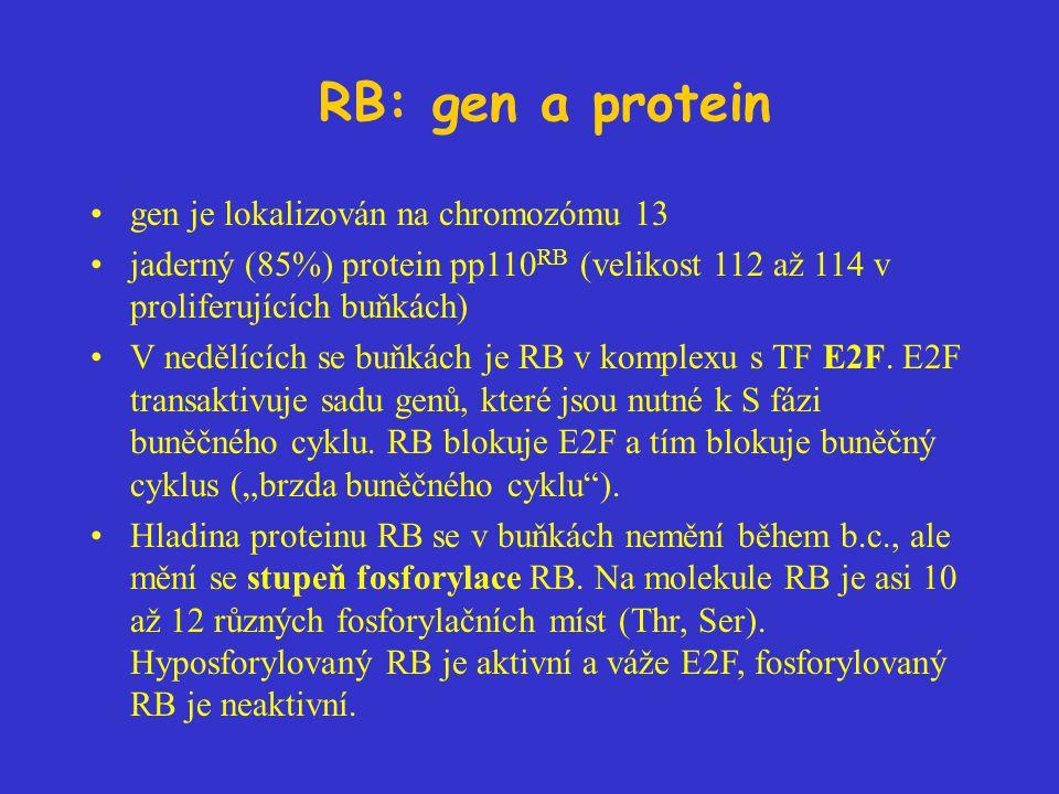 RB: gen a protein gen je lokalizován na chromozómu 13 jaderný (85%) protein pp110 RB (velikost 112 až 114 v proliferujících buňkách) V nedělících se buňkách je RB v komplexu s TF E2F.