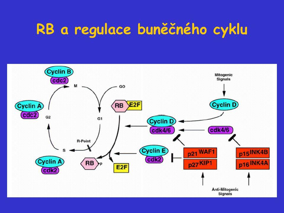 RB a regulace buněčného cyklu