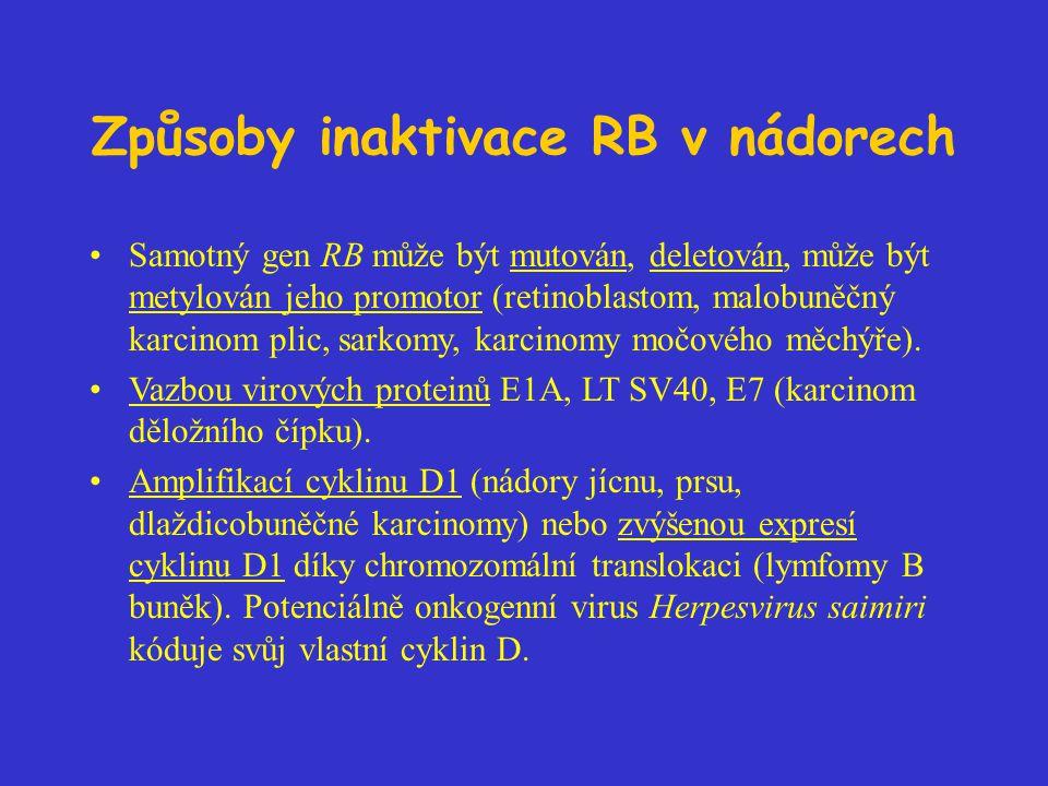 Způsoby inaktivace RB v nádorech Samotný gen RB může být mutován, deletován, může být metylován jeho promotor (retinoblastom, malobuněčný karcinom plic, sarkomy, karcinomy močového měchýře).