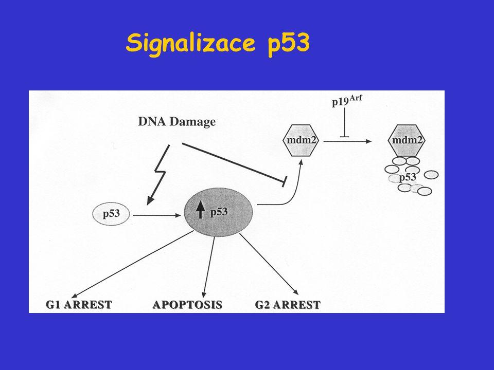 Signalizace p53