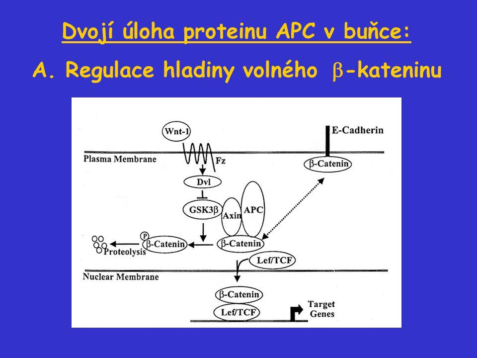Dvojí úloha proteinu APC v buňce: A. Regulace hladiny volného  -kateninu