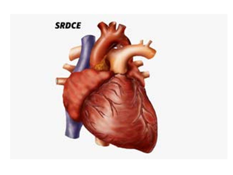 Dutý sval Zajišťuje pohyb krve v krevním oběhu Uloženo v osrdečníku v dutině hrudní Vyživováno a zásobováno kyslíkem pomocí věnčitých tepen Je rozděleno na P a L část a ty na komoru a síň Mezi nimi jsou chlopně, které zabraňují zpětnému toku krve