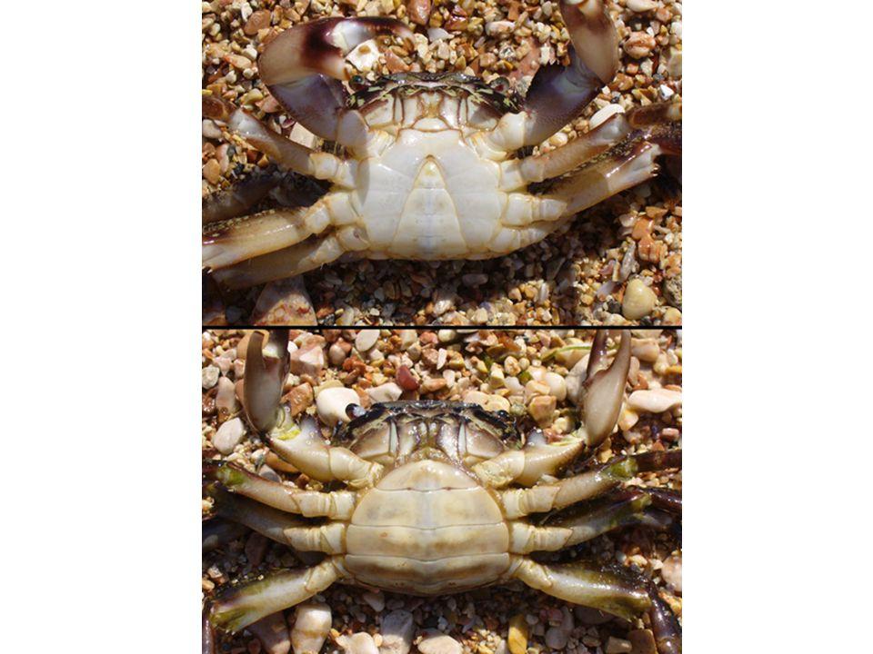 Krabi – Chování chůze stranou – postavení nohou někteří vpřed/vzad, plavou aktivní, komunikace pomocí pohybů klepet vůči sobě agresivní, boj o samici, skrýš