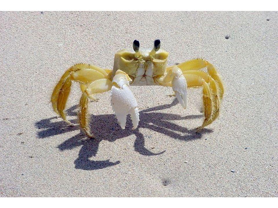 Krabi a lidé kuchařství – konzumace s/bez krunýře / pouze končetiny… – vaření za živa rybolov – 20% ulovených korýšů – 1,5 mil tun/rok