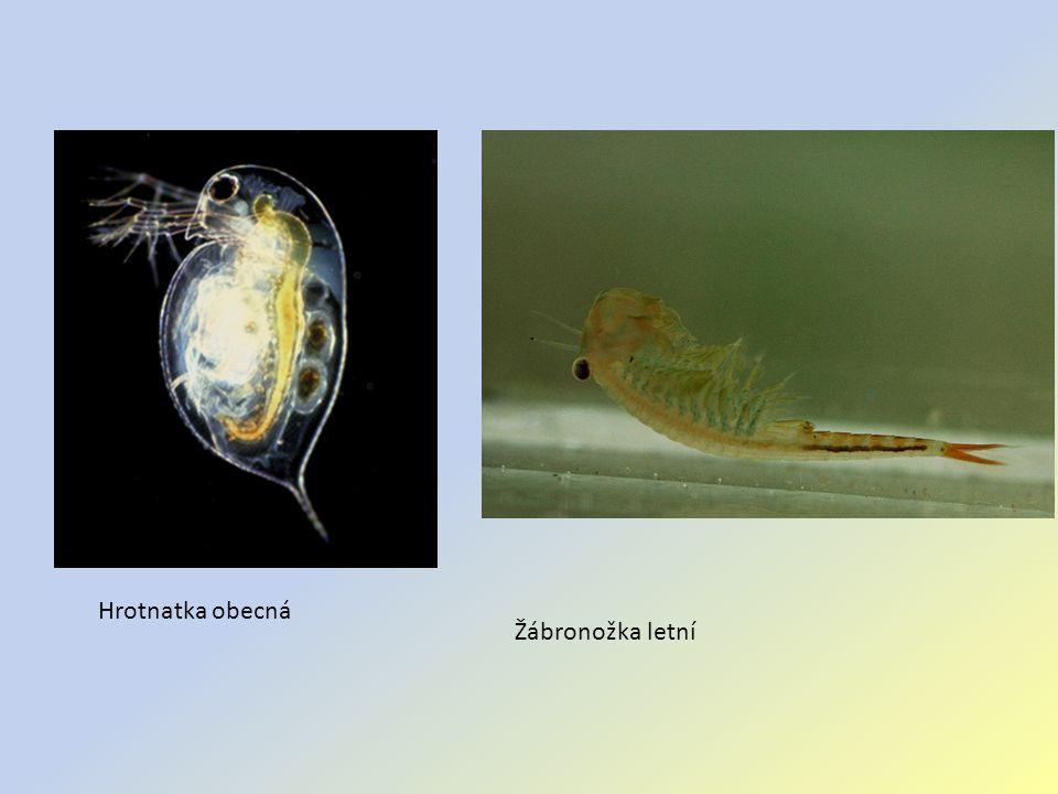 Hrotnatka obecná Žábronožka letní