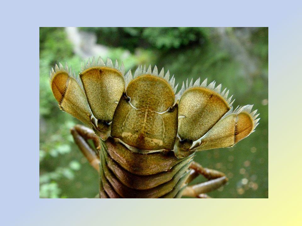 Tělní soustavy: DS: žábry TS: ústní ústrojí – řitní otvor, slinivkojaterní žláza CS: otevřená NS: žebříčkovitá Smysly: složené teleskopické oči, hmat, statické ústrojí, chemoreceptory RS: oddělené pohlaví, vývin přímý, samička nosí nakladená vajíčka (200)na zadečkových nožkách (od zimy – do léta)