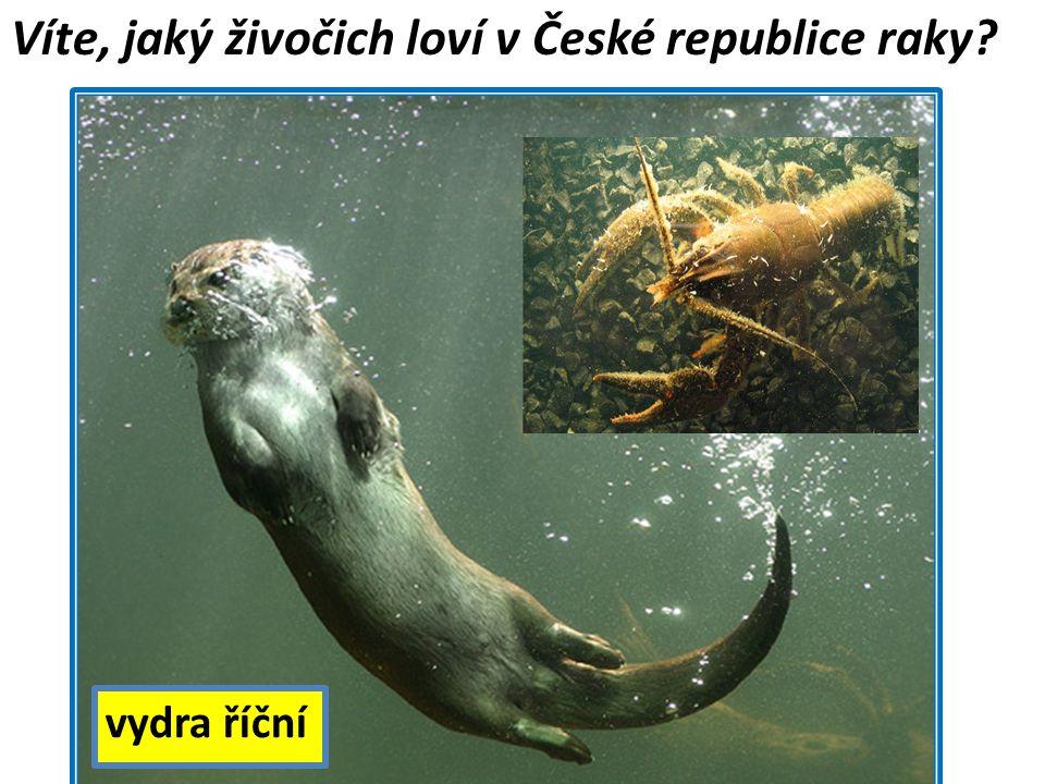 Víte, jaký živočich loví v České republice raky? vydra říční