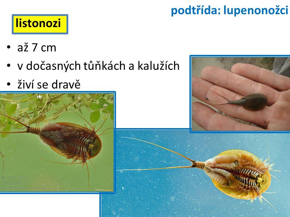 až 7 cm v dočasných tůňkách a kalužích živí se dravě listonozi podtřída: lupenonožci