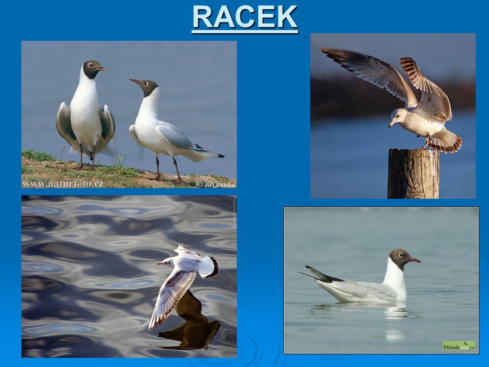 RACEK