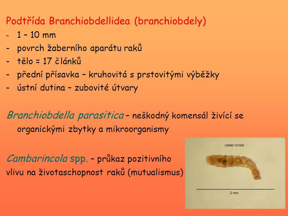 Podtřída Branchiobdellidea (branchiobdely) - 1 – 10 mm -povrch žaberního aparátu raků -tělo = 17 článků -přední přísavka – kruhovitá s prstovitými výběžky -ústní dutina – zubovité útvary Branchiobdella parasitica – neškodný komensál živící se organickými zbytky a mikroorganismy Cambarincola spp.