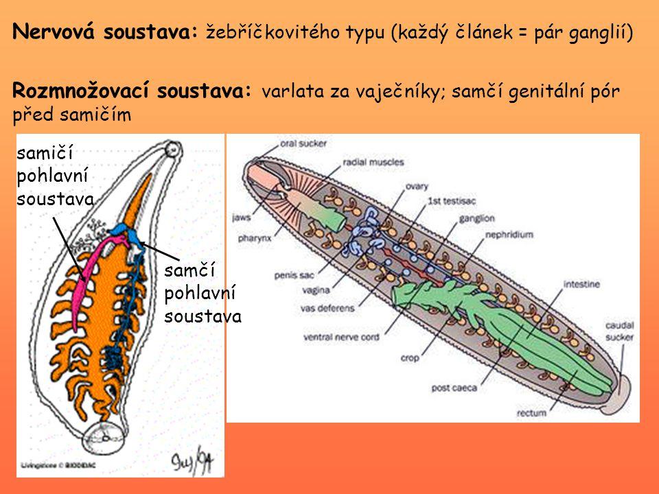Nervová soustava: žebříčkovitého typu (každý článek = pár ganglií) Rozmnožovací soustava: varlata za vaječníky; samčí genitální pór před samičím samičí pohlavní soustava samčí pohlavní soustava