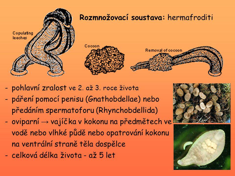 Řád Rhynchobdellida - přední část jícnu přeměněna v rhynchus (= vysunovací bodec) Theromyzon tessullatum – nosní sliznice vodních ptáků Piscicola geometra (chobotnatka rybí) -délka 2 – 8 cm -na přední přísavce – 2 páry očí -na zadní přísavce – radiálně uspořádané pigmentové pásy -saje krev na sladkovodních rybách → možný přenos krevních parazitických prvoků
