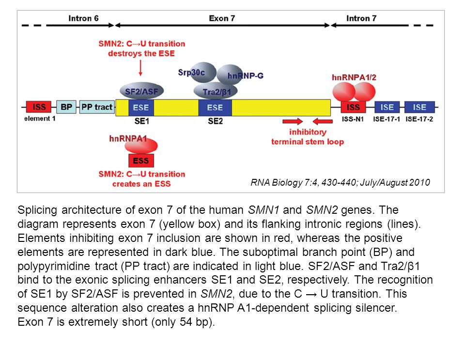 Splicing architecture of exon 7 of the human SMN1 and SMN2 genes. The diagram represents exon 7 (yellow box) and its flanking intronic regions (lines)