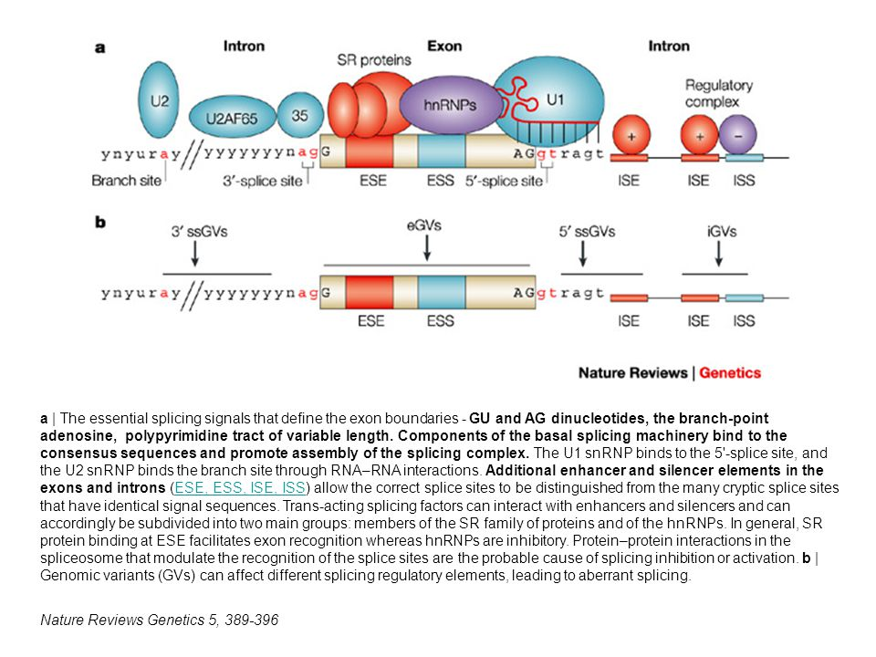Nature Reviews Genetics 5, 389-396 a | The essential splicing signals that define the exon boundaries - GU and AG dinucleotides, the branch-point adenosine, polypyrimidine tract of variable length.