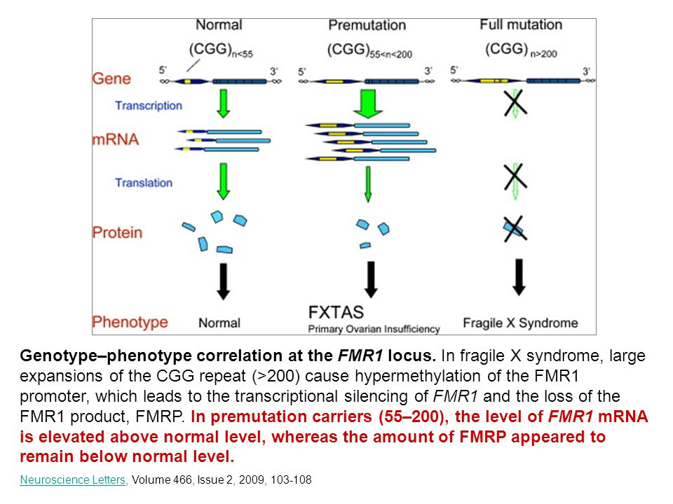 Genotype–phenotype correlation at the FMR1 locus.