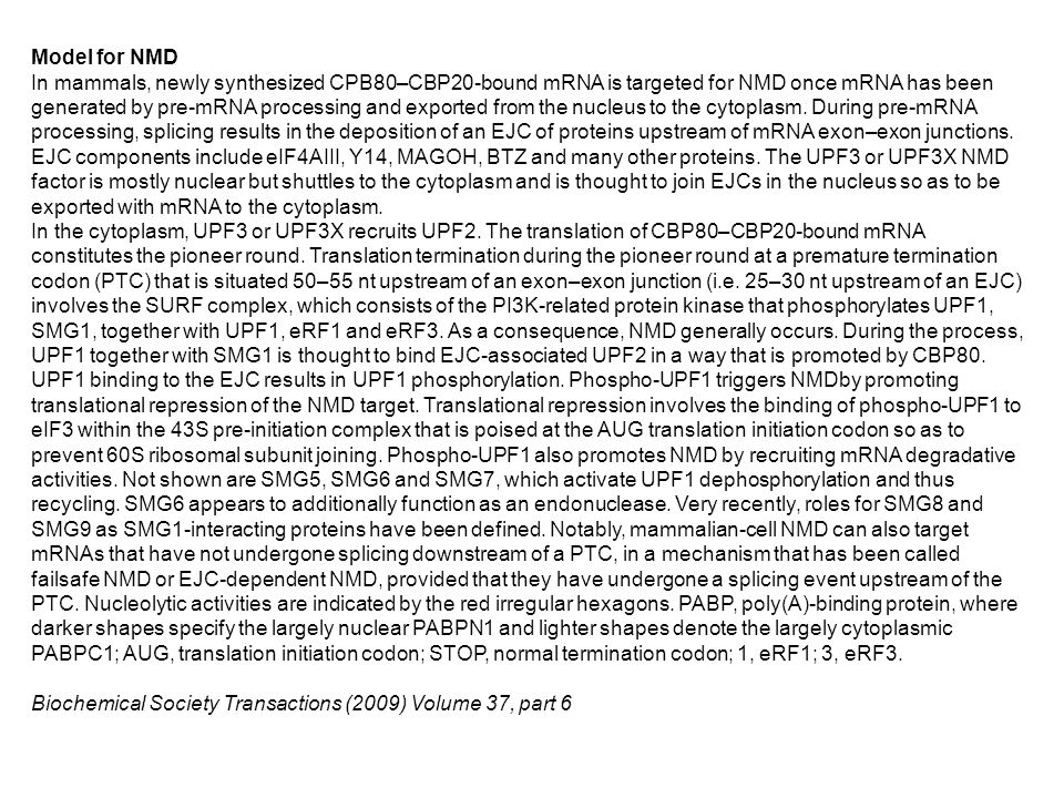 Model for NMD In mammals, newly synthesized CPB80–CBP20-bound mRNA is targeted for NMD once mRNA has been generated by pre-mRNA processing and exported from the nucleus to the cytoplasm.