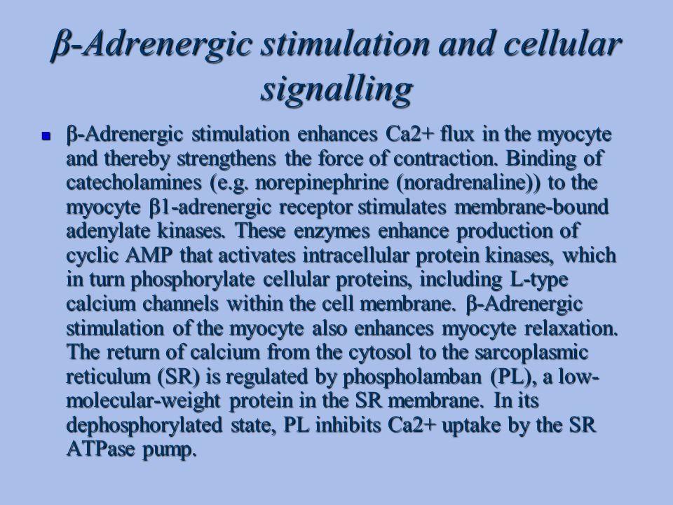 β-Adrenergic stimulation and cellular signalling β-Adrenergic stimulation enhances Ca2+ flux in the myocyte and thereby strengthens the force of contr