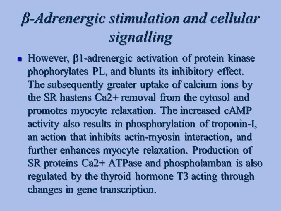 β-Adrenergic stimulation and cellular signalling However, β1-adrenergic activation of protein kinase phophorylates PL, and blunts its inhibitory effec