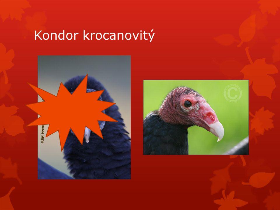 Kondor krocanovitý