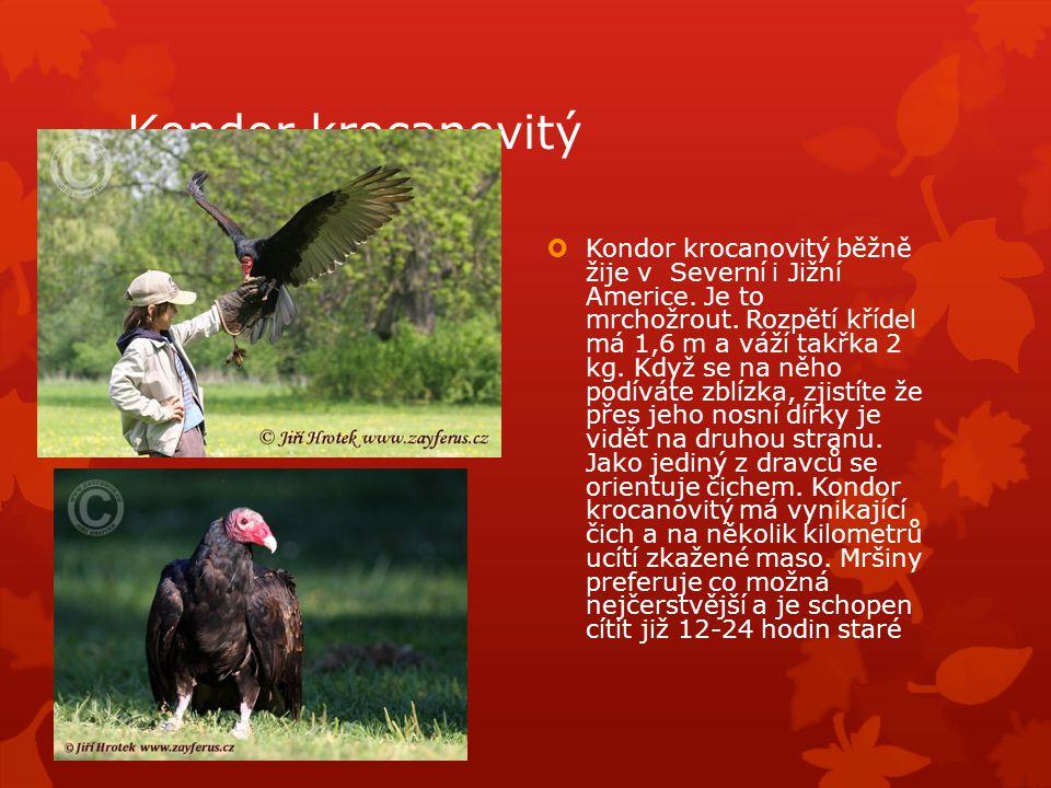 Kondor krocanovitý  Kondor krocanovitý běžně žije v Severní i Jižní Americe.