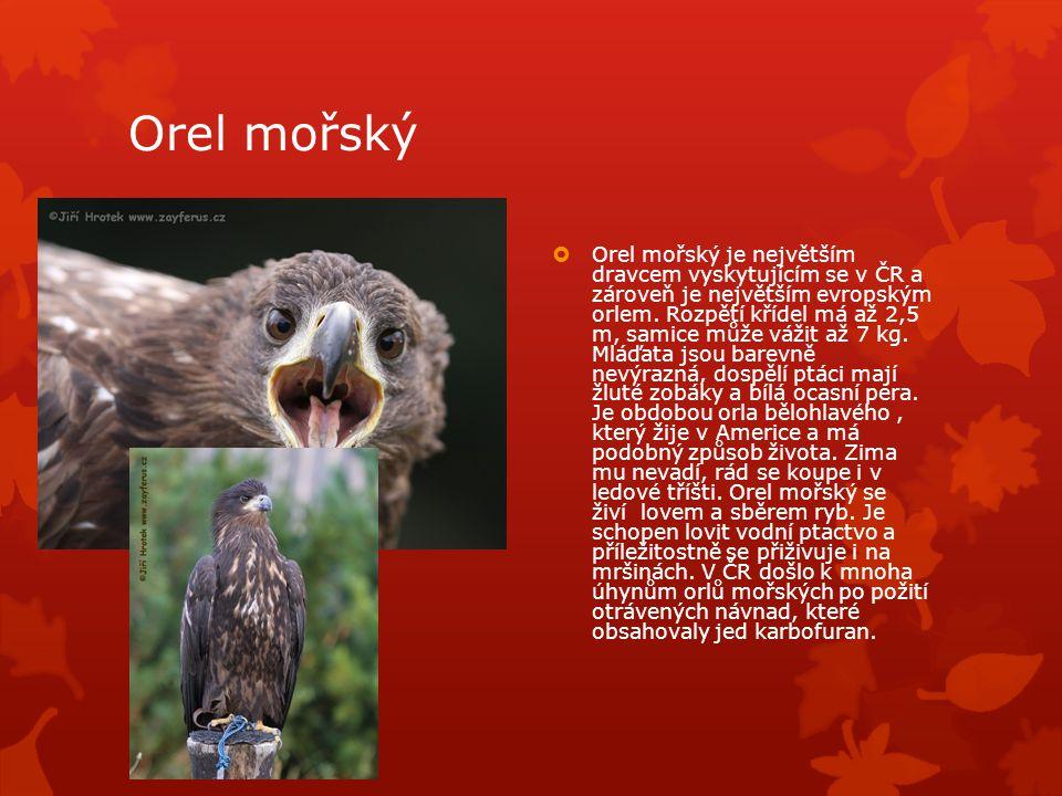 Orel mořský  Orel mořský je největším dravcem vyskytujícím se v ČR a zároveň je největším evropským orlem.