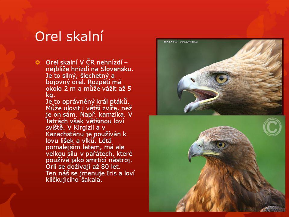 Orel skalní  Orel skalní V ČR nehnízdí – nejblíže hnízdí na Slovensku.