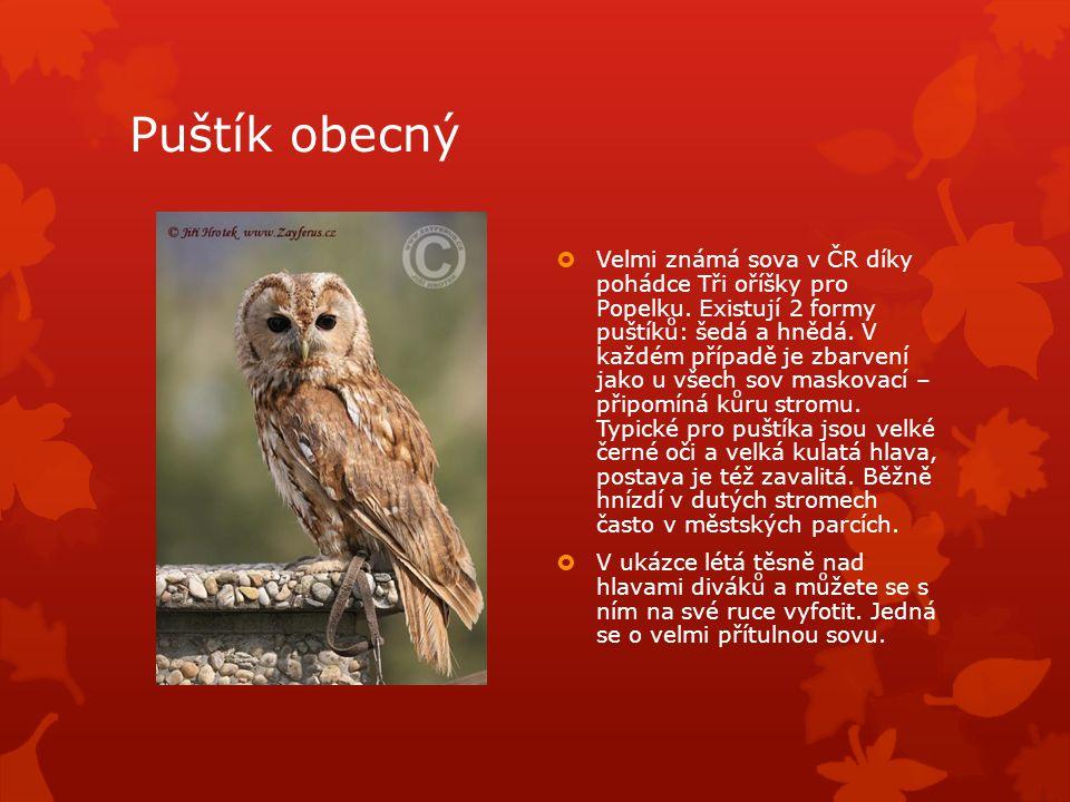 Puštík obecný  Velmi známá sova v ČR díky pohádce Tři oříšky pro Popelku.