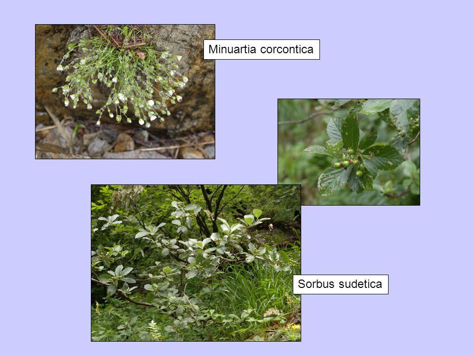 Minuartia corcontica Sorbus sudetica