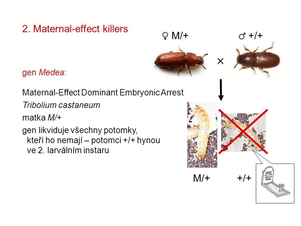 2. Maternal-effect killers  ♀ M/+ ♂ +/+ M/+ +/+ gen Medea: Maternal-Effect Dominant Embryonic Arrest Tribolium castaneum matka M/+ gen likviduje všec
