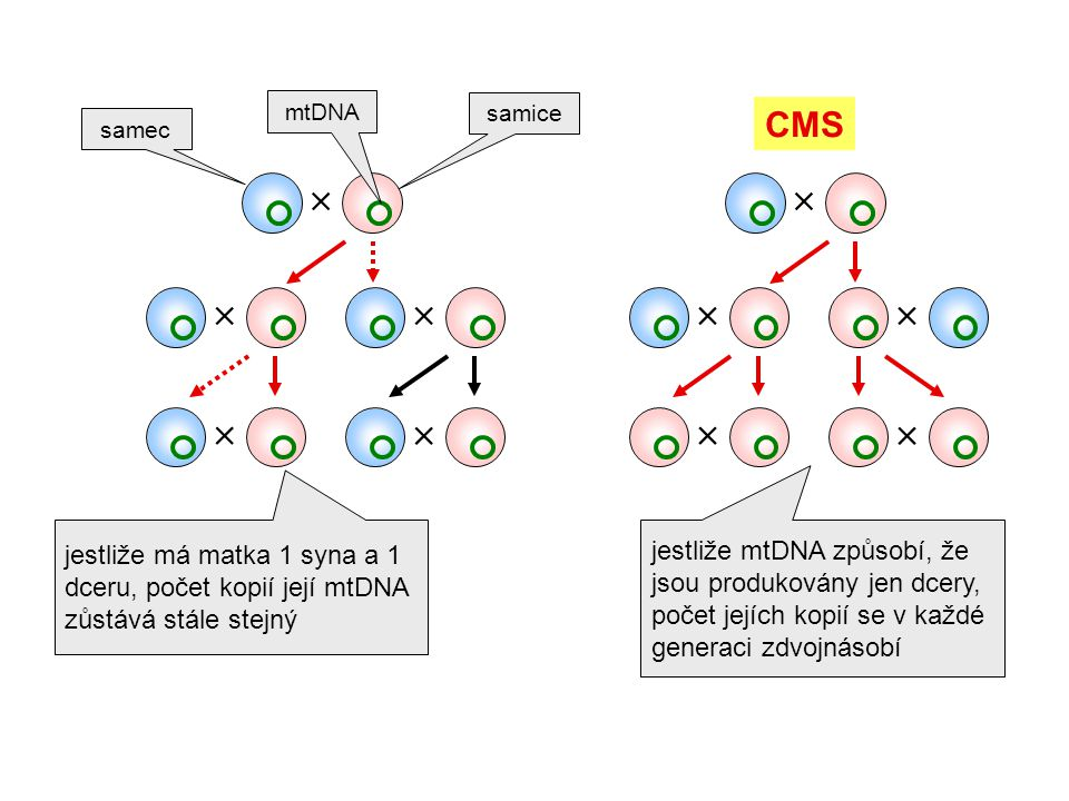 samec samice jestliže má matka 1 syna a 1 dceru, počet kopií její mtDNA zůstává stále stejný         jestliže mtDNA způsobí, že jsou produko