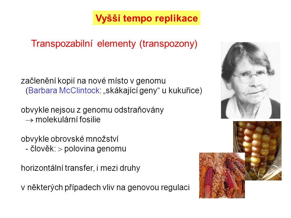 """Vyšší tempo replikace Transpozabilní elementy (transpozony) začlenění kopií na nové místo v genomu (Barbara McClintock: """"skákající geny"""" u kukuřice) o"""