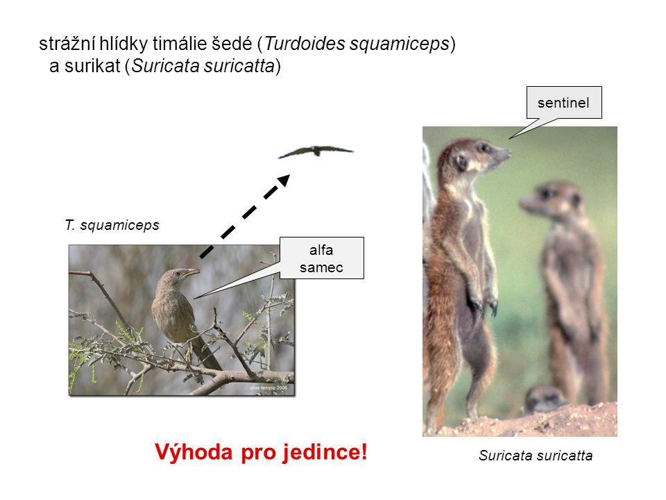 strážní hlídky timálie šedé (Turdoides squamiceps) a surikat (Suricata suricatta) Suricata suricatta Výhoda pro jedince! T. squamiceps sentinel alfa s