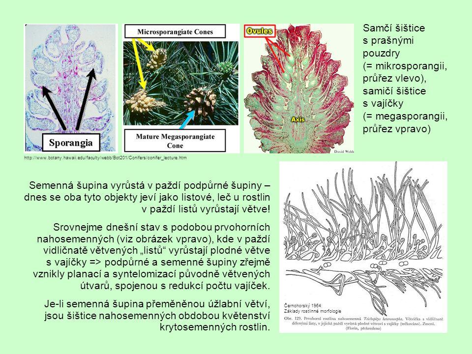 Semenná šupina vyrůstá v paždí podpůrné šupiny – dnes se oba tyto objekty jeví jako listové, leč u rostlin v paždí listů vyrůstají větve.