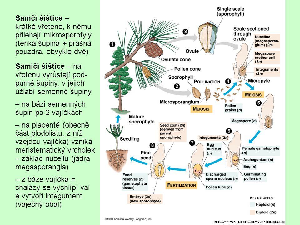 http://www.mun.ca/biology/scarr/Gymnospermae.html Samčí šištice – krátké vřeteno, k němu přiléhají mikrosporofyly (tenká šupina + prašná pouzdra, obvykle dvě) Samičí šištice – na vřetenu vyrůstají pod- půrné šupiny, v jejich úžlabí semenné šupiny – na bázi semenných šupin po 2 vajíčkách – na placentě (obecně část plodolistu, z níž vzejdou vajíčka) vzniká meristematický vrcholek – základ nucellu (jádra megasporangia) – z báze vajíčka = chalázy se vychlípí val a vytvoří integument (vaječný obal)