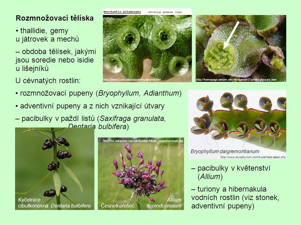 U cévnatých rostlin: rozmnožovací pupeny (Bryophyllum, Adianthum) adventivní pupeny a z nich vznikající útvary – pacibulky v paždí listů (Saxifraga granulata, Dentaria bulbifera) http://homepage.eircom.net/~hedgerow17/photo-glossary.htm Rozmnožovací tělíska thallidie, gemy u játrovek a mechů – obdoba tělísek, jakými jsou soredie nebo isidie u lišejníků http://www2.una.edu/pdavis/bryophytes.htm http://www.bryophyllum.com/b-plantlets-detail.php – pacibulky v květenství (Allium) – turiony a hibernakula vodních rostlin (viz stonek, adventivní pupeny) http://cs.wikipedia.org/wiki/Soubor:Allium_scorodoprasum.jpg Česnek ořešec Kyčelnice cibulkonosná Dentaria bulbifera Allium scorodoprasum Bryophyllum daigremontianum