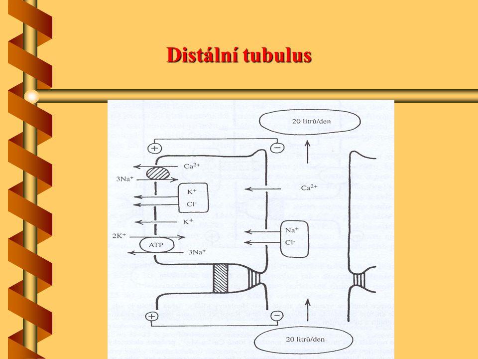 Distální tubulus