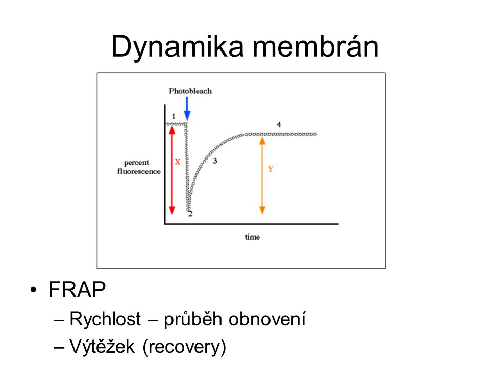 Dynamika membrán FRAP –Rychlost – průběh obnovení –Výtěžek (recovery)