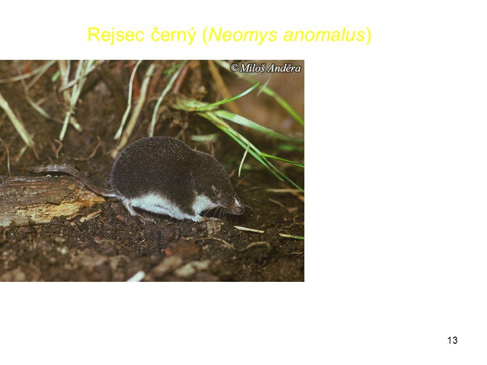 13 Rejsec černý (Neomys anomalus)