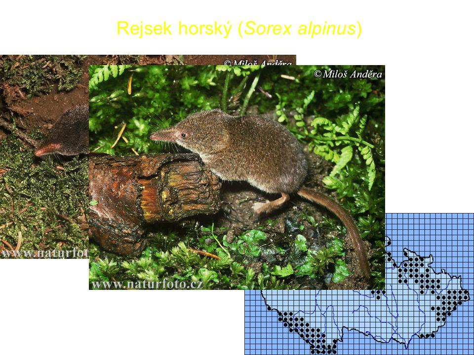 15 Rejsek horský (Sorex alpinus)