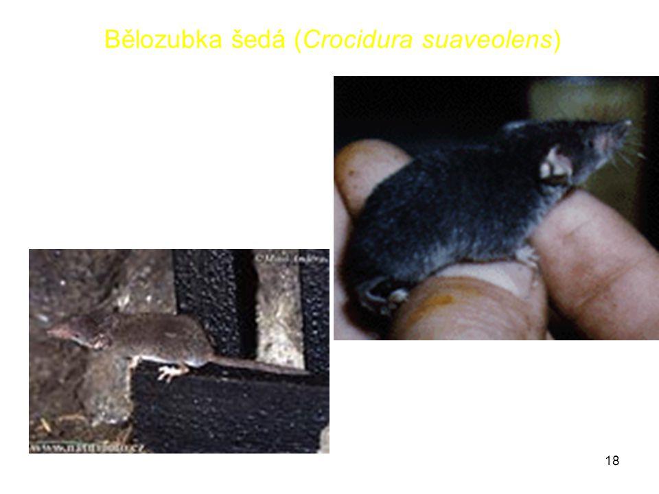 18 Bělozubka šedá (Crocidura suaveolens)