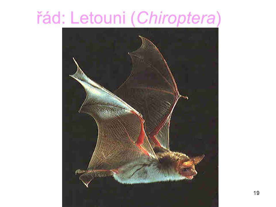 19 řád: Letouni (Chiroptera)