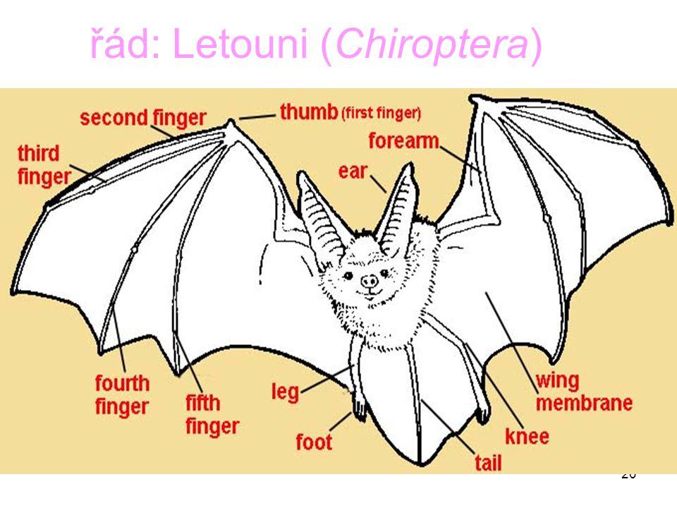 20 řád: Letouni (Chiroptera)