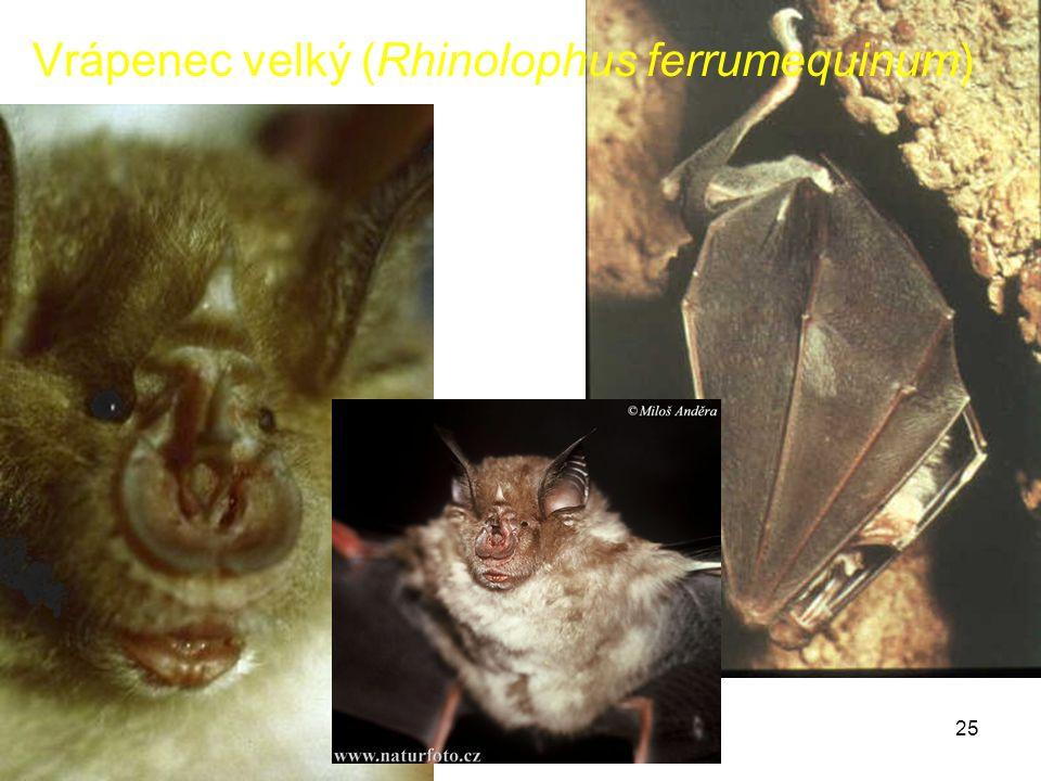 25 Vrápenec velký (Rhinolophus ferrumequinum)