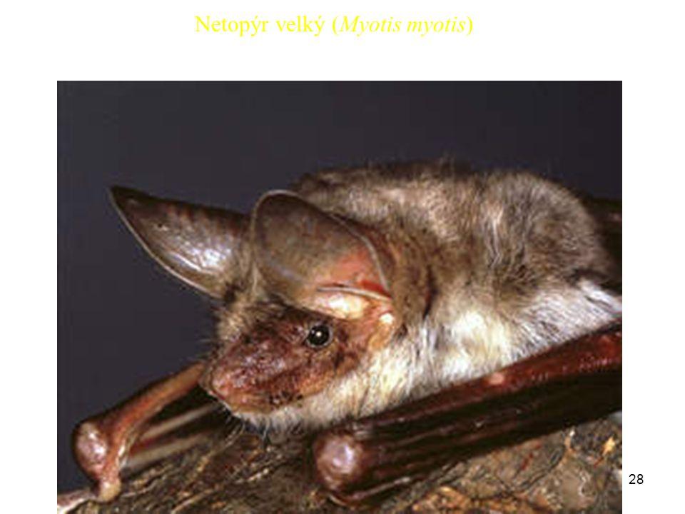 28 Netopýr velký (Myotis myotis)