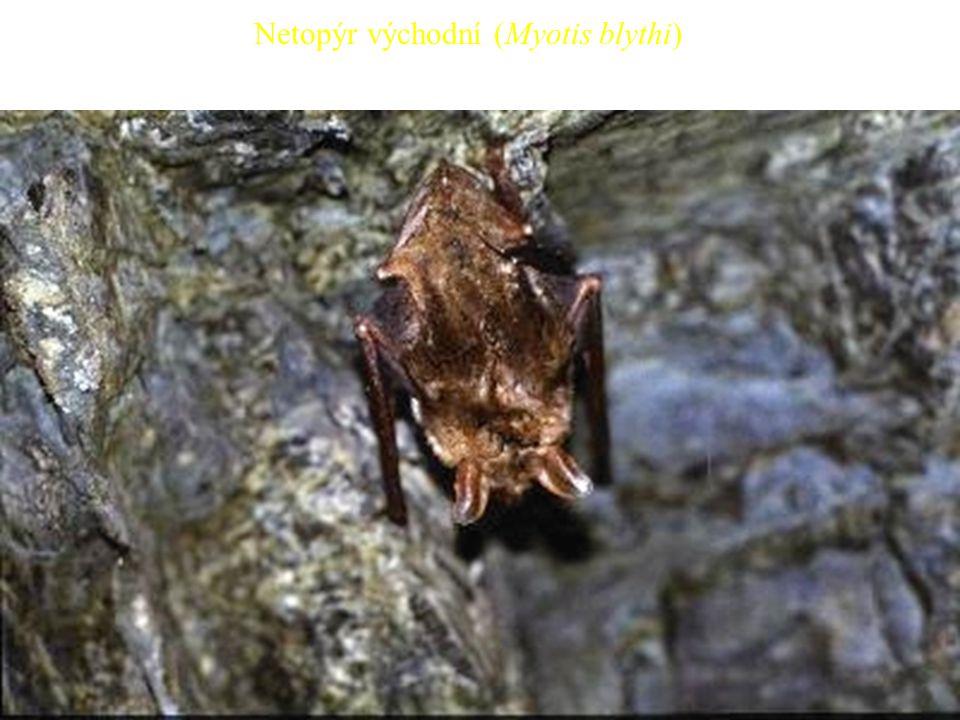 29 Netopýr východní (Myotis blythi)