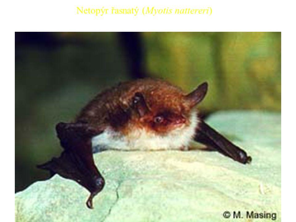 31 Netopýr řasnatý (Myotis nattereri)