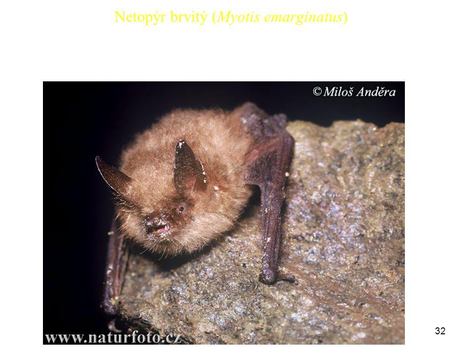 32 Netopýr brvitý (Myotis emarginatus)